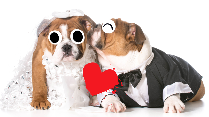 Two dogs dressed as bride and groom with heart