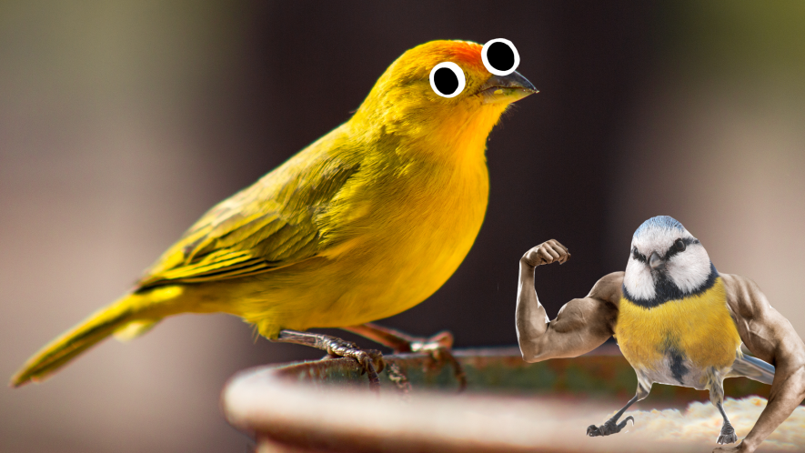 Canary with googly eyes and hench bluetit