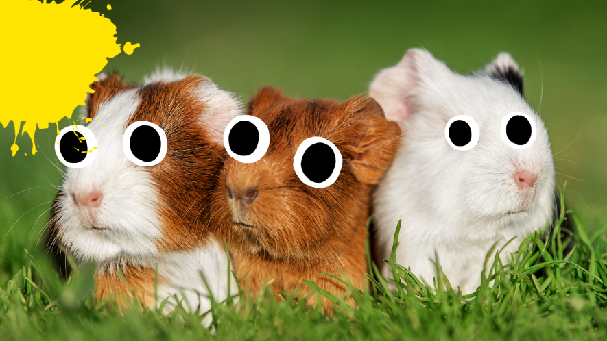 Three guinea pigs with yellow splats