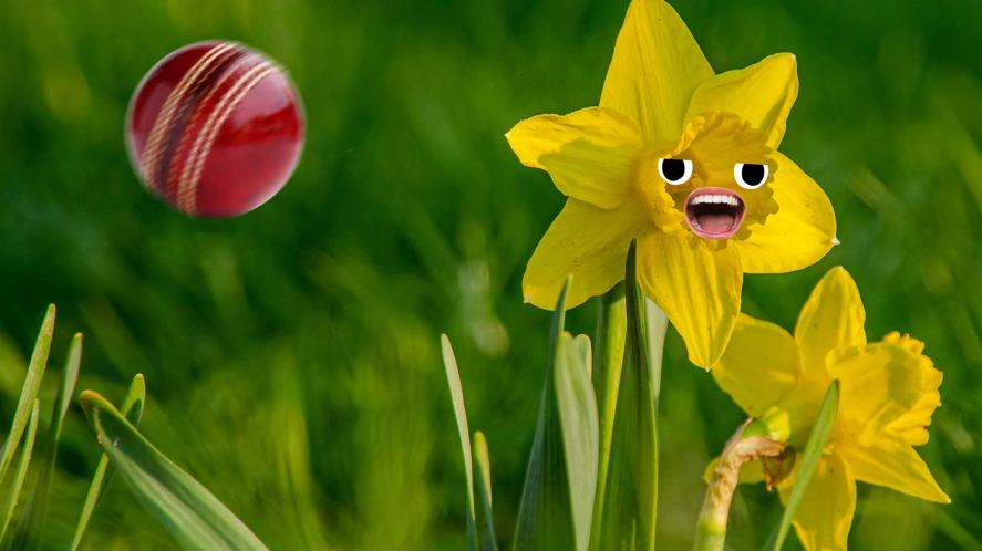 A daffodil and a cricket ball