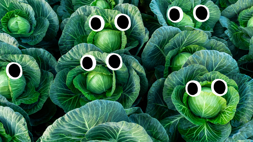 Rows of cabbages with faces
