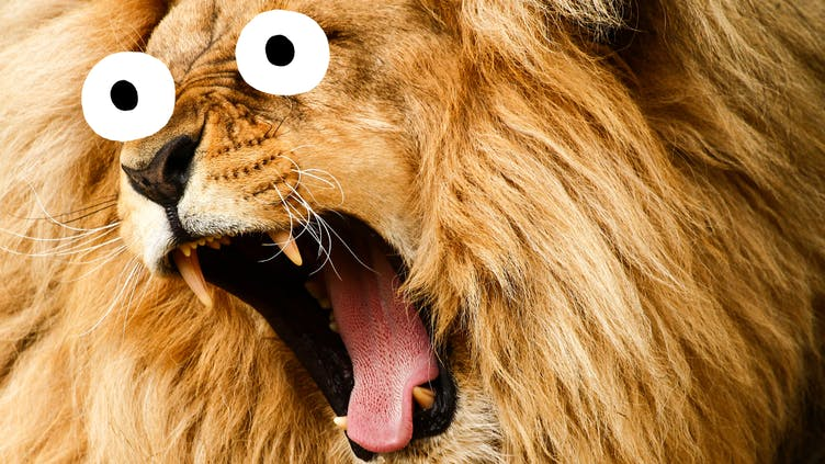 A lion either yawning or doing a big roar