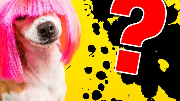A dog in a pink wig