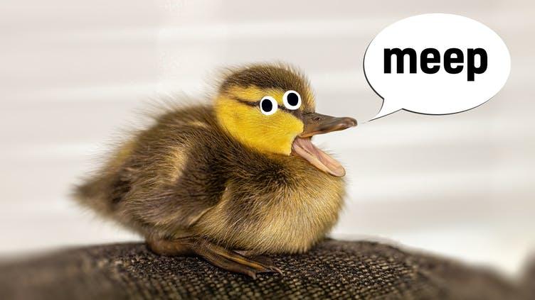 A duckling saying meep