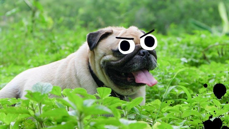 A pug in a grassy garden