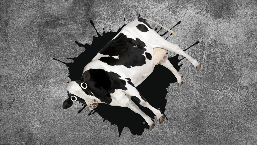 Black and white cow lying on its side in a puddle