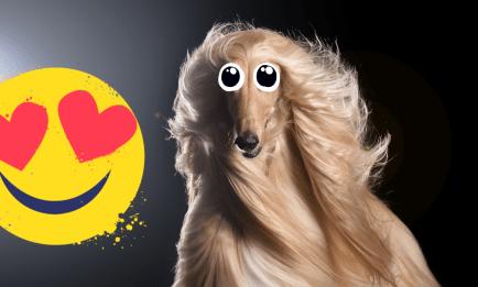 A dog with nice long hair