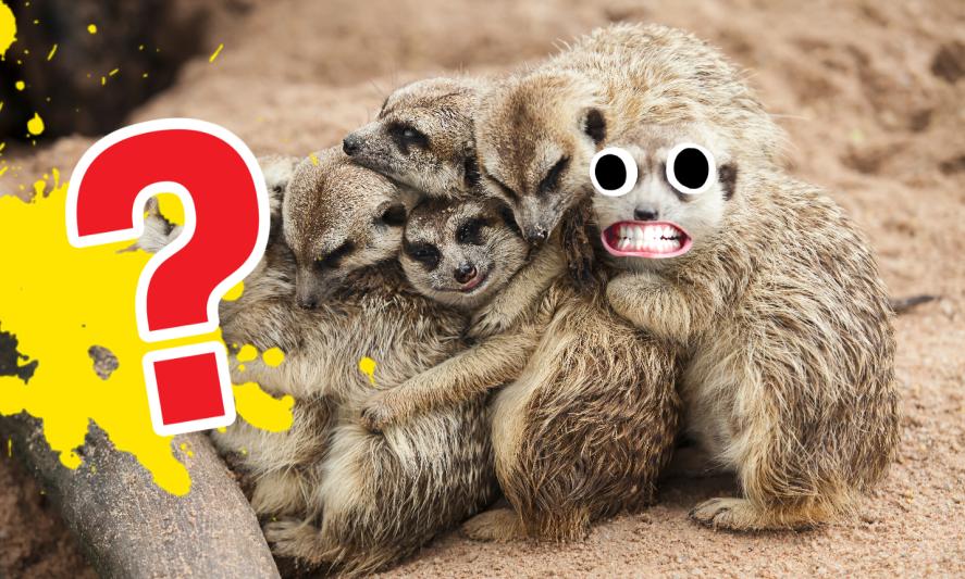 A family of meerkats
