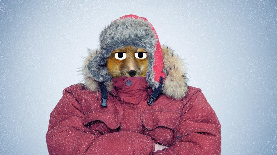 A fox in a winter coat