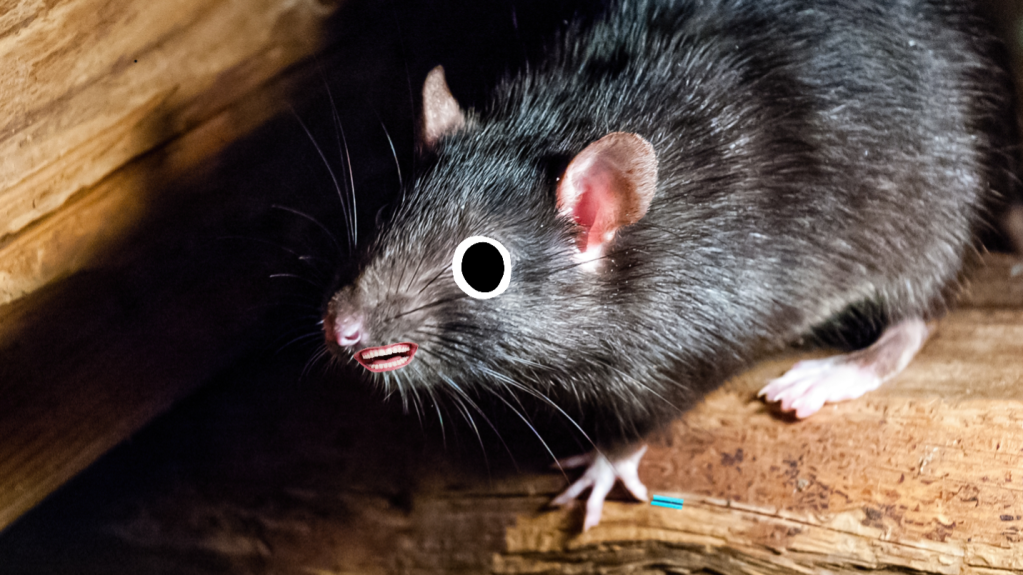 A rat on some floorboards