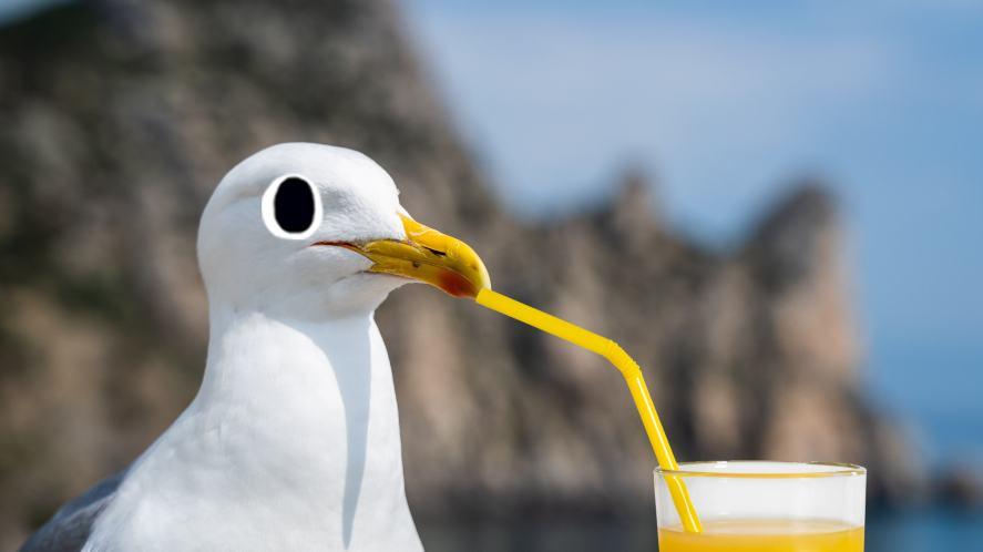 Seagull drinking orange juice through a straw
