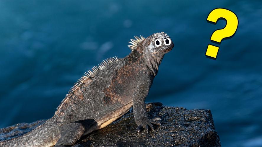 An iguana looks confused