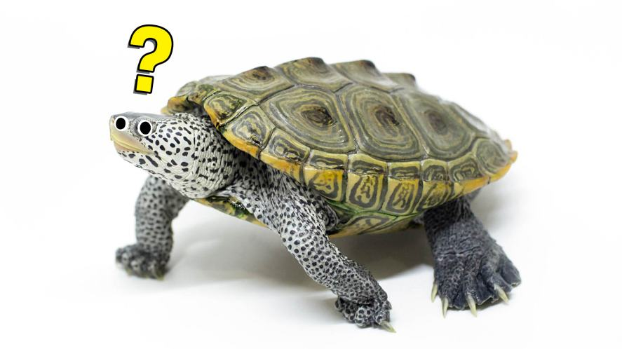 A confused terrapin