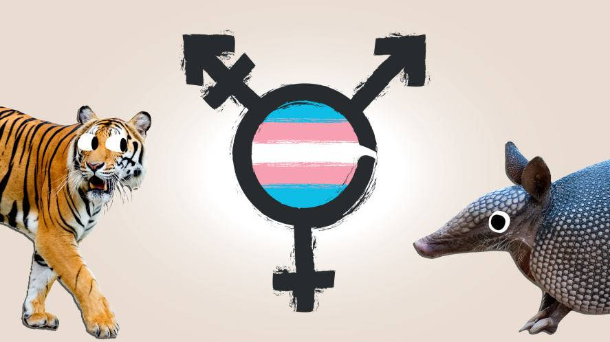 A tiger and armadillo with a trans flag