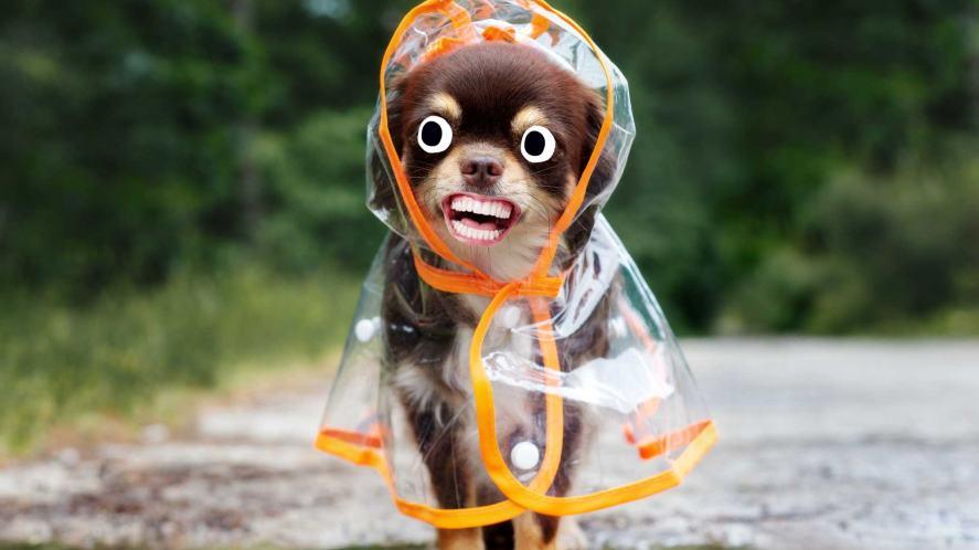 A dog in a smart raincoat