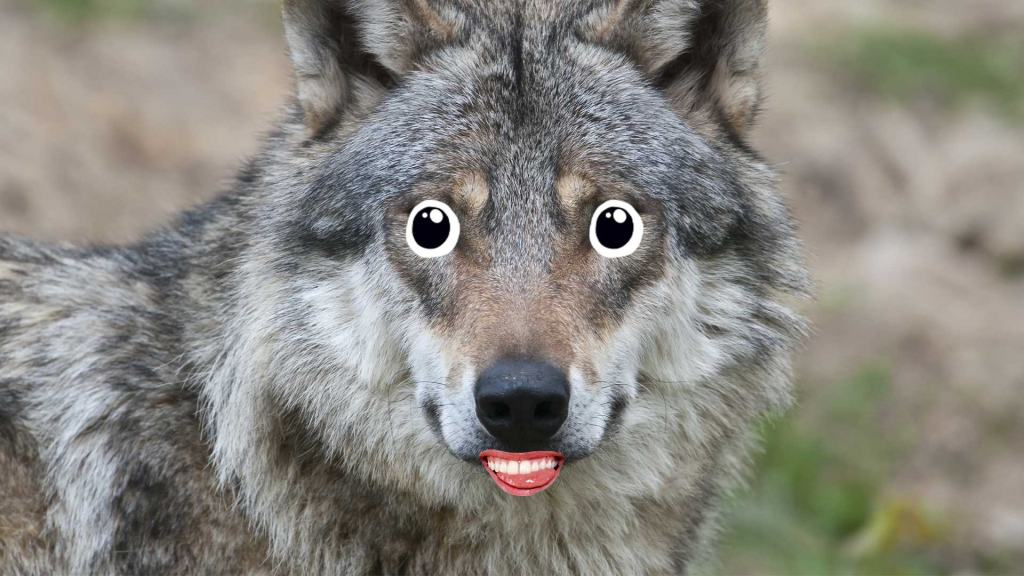 A wolf smiling for the camera
