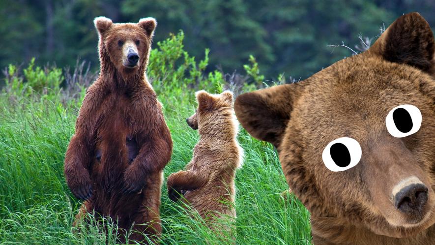 Bears in the wild and Beano bear