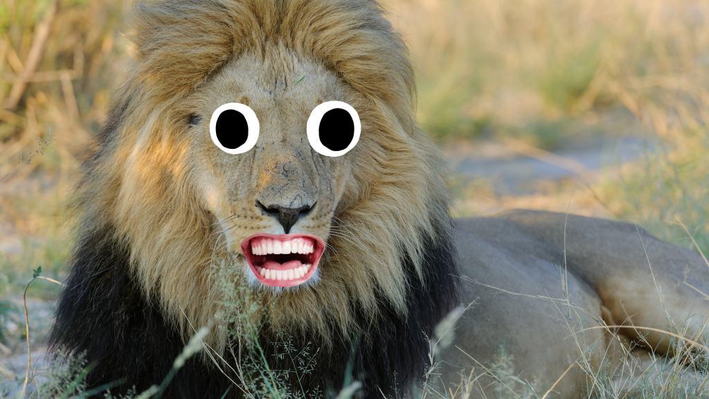 A lion in the Kalahari