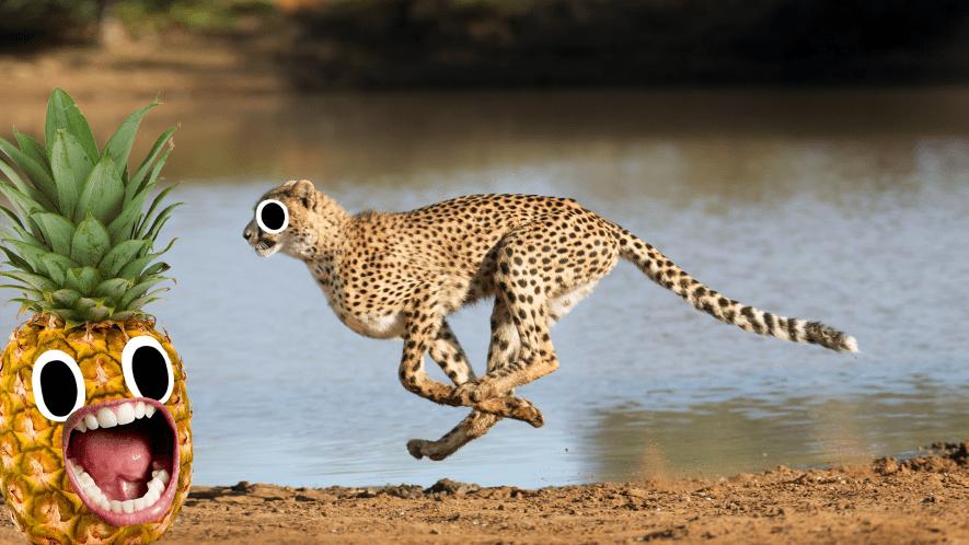 Cheetah running and screaming pineapple