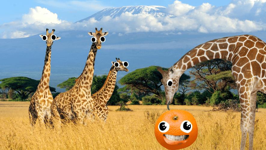 Giraffes on the Savannah and tangerine on face