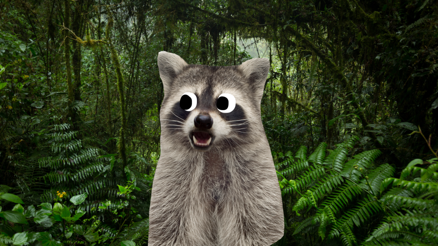 A racoon lost in a forest