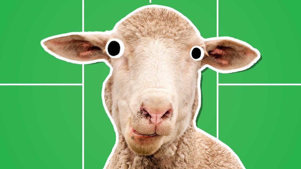 A sheep on a badminton court