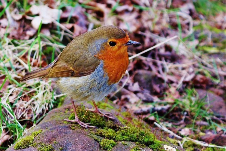 A robin Christmas Quiz