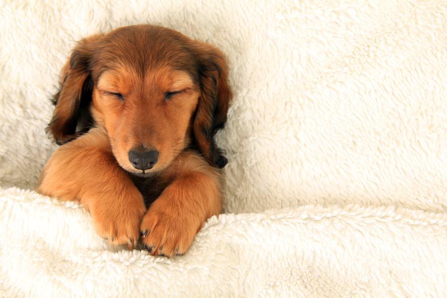 Sleepy dog
