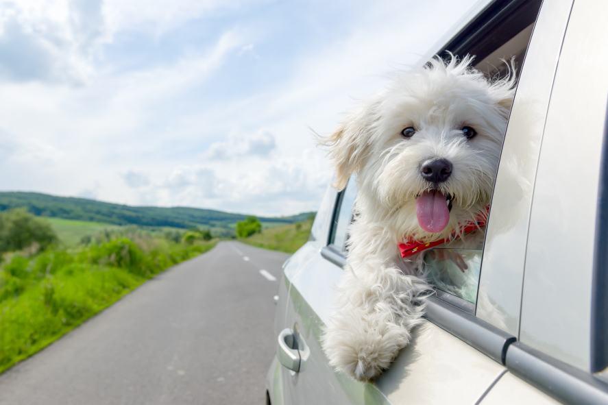 White dog in a car