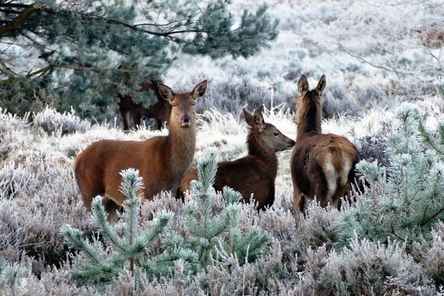 Christmas Song Quiz - Christmas Deer