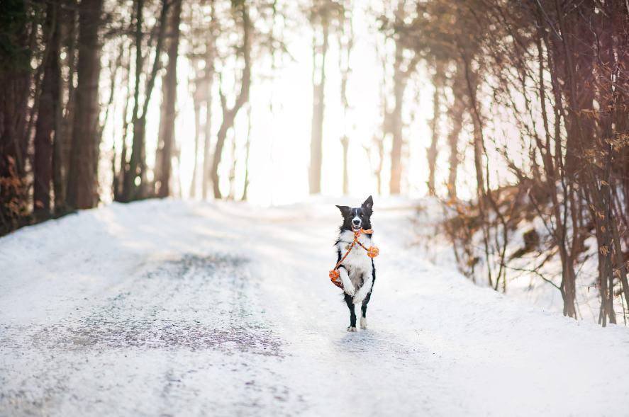 Christmas Song Quiz - Dog