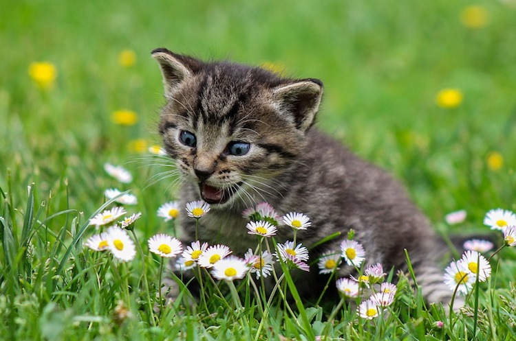 A kitten attacking a group of daisies