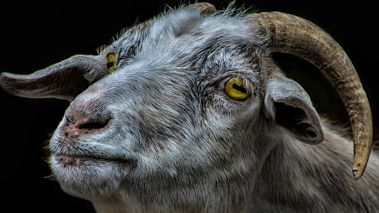 A bored looking goat