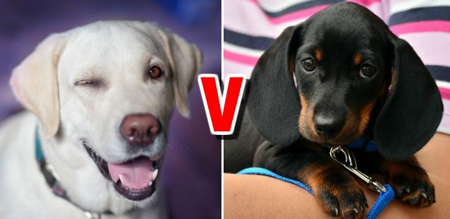 A labrador and a dachshund