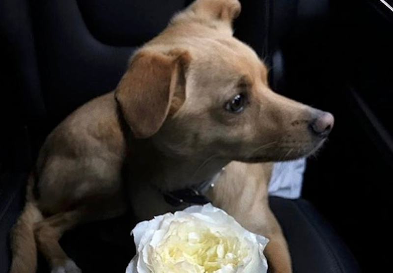 A dog sniffing a rose