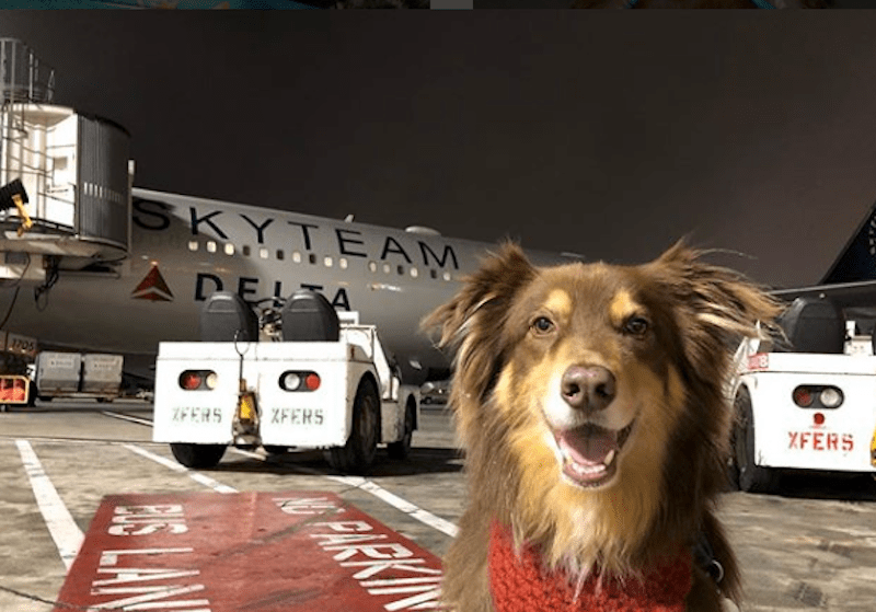 A happy dog waiting patiently to board an aeroplane