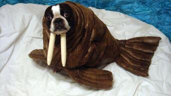 Dogwalrus