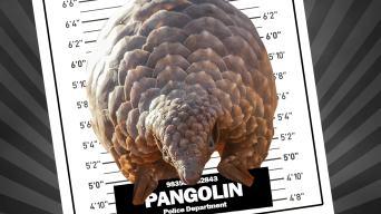 Pangolin mugshot