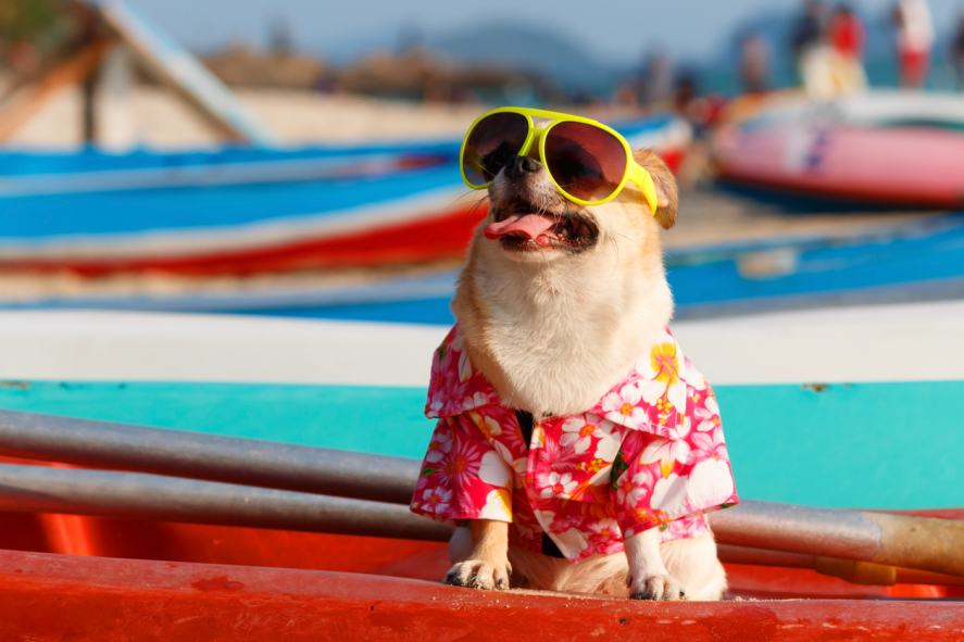 A dog wearing sunglasses at the beach