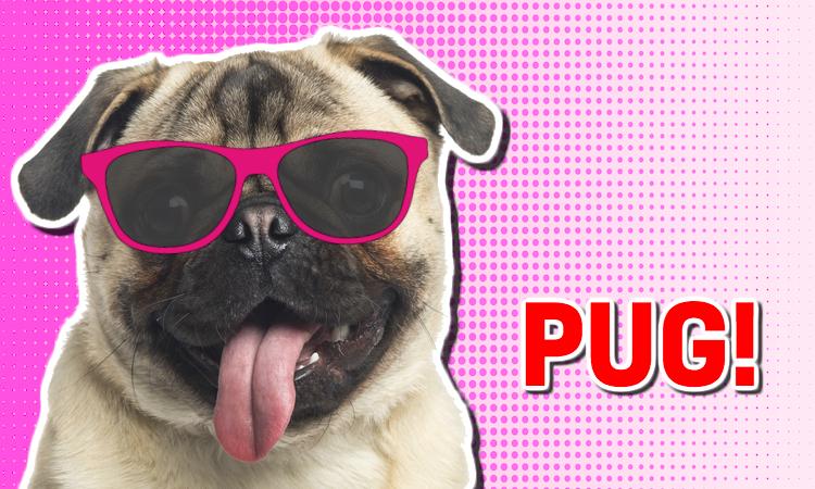 A pug wearing sunglasses