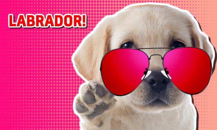 A labrador puppy wearing sunglasses