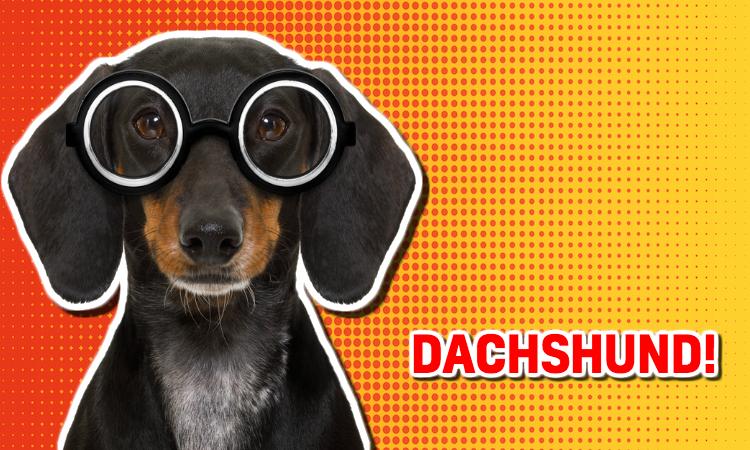 A dachshund wearing glasses