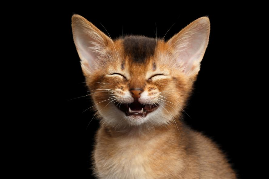 Abyssinian kitty laughing at something or other