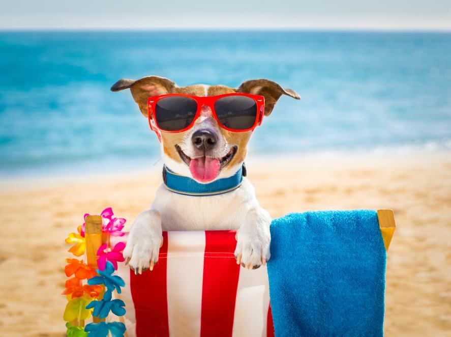 A dog wearing sunglasses