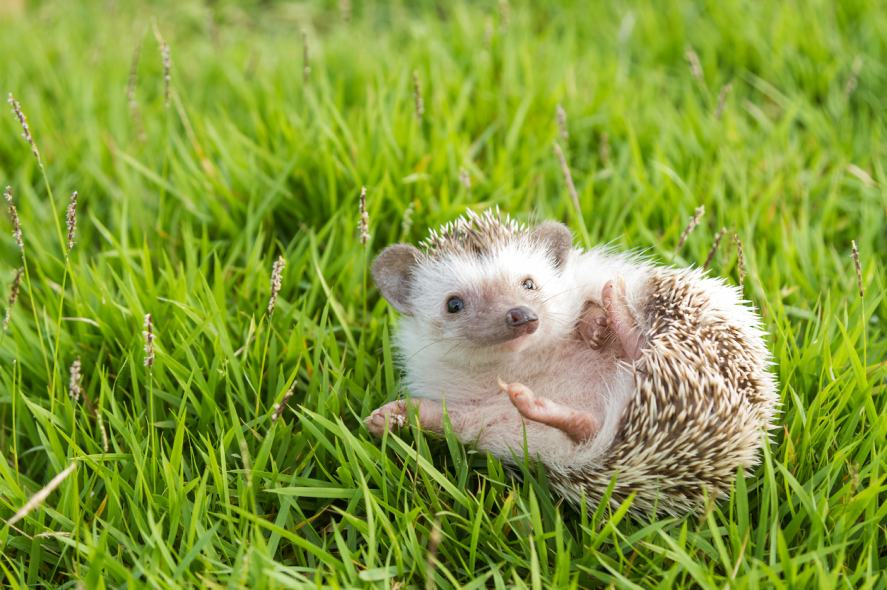A hedgehog relaxing on the grass