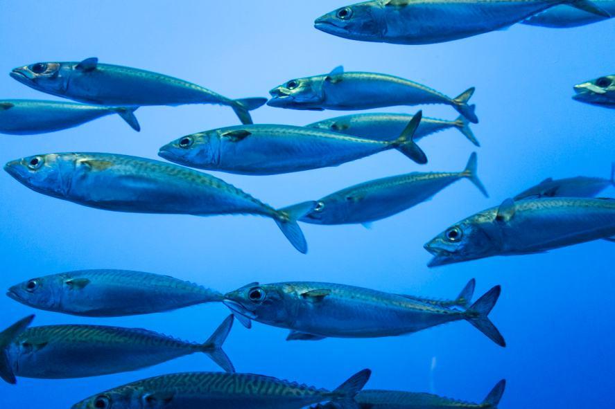 Sardines swimming in the sea