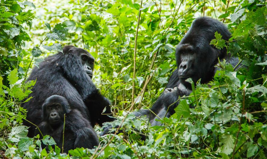 Gorillas in a wooded area