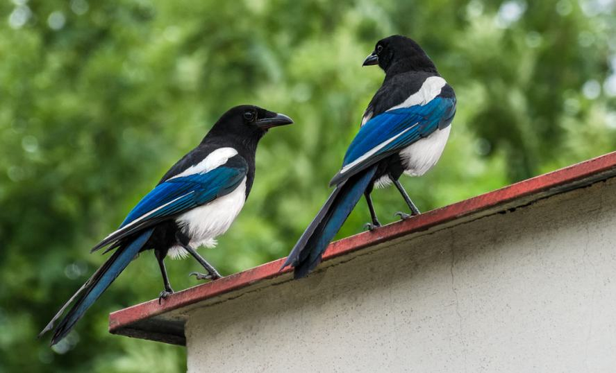 Two magpies on a roof