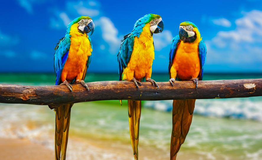 Three parrots on a branch