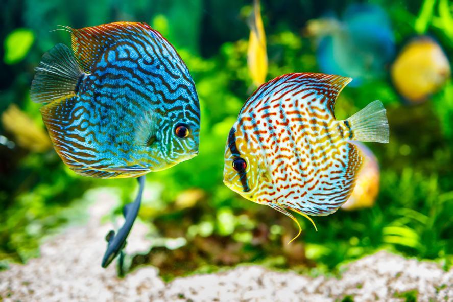 Aquarium displaying two tropical fish